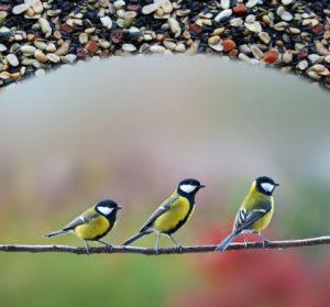 Birdseed Supplier Background Song of America Burkmann