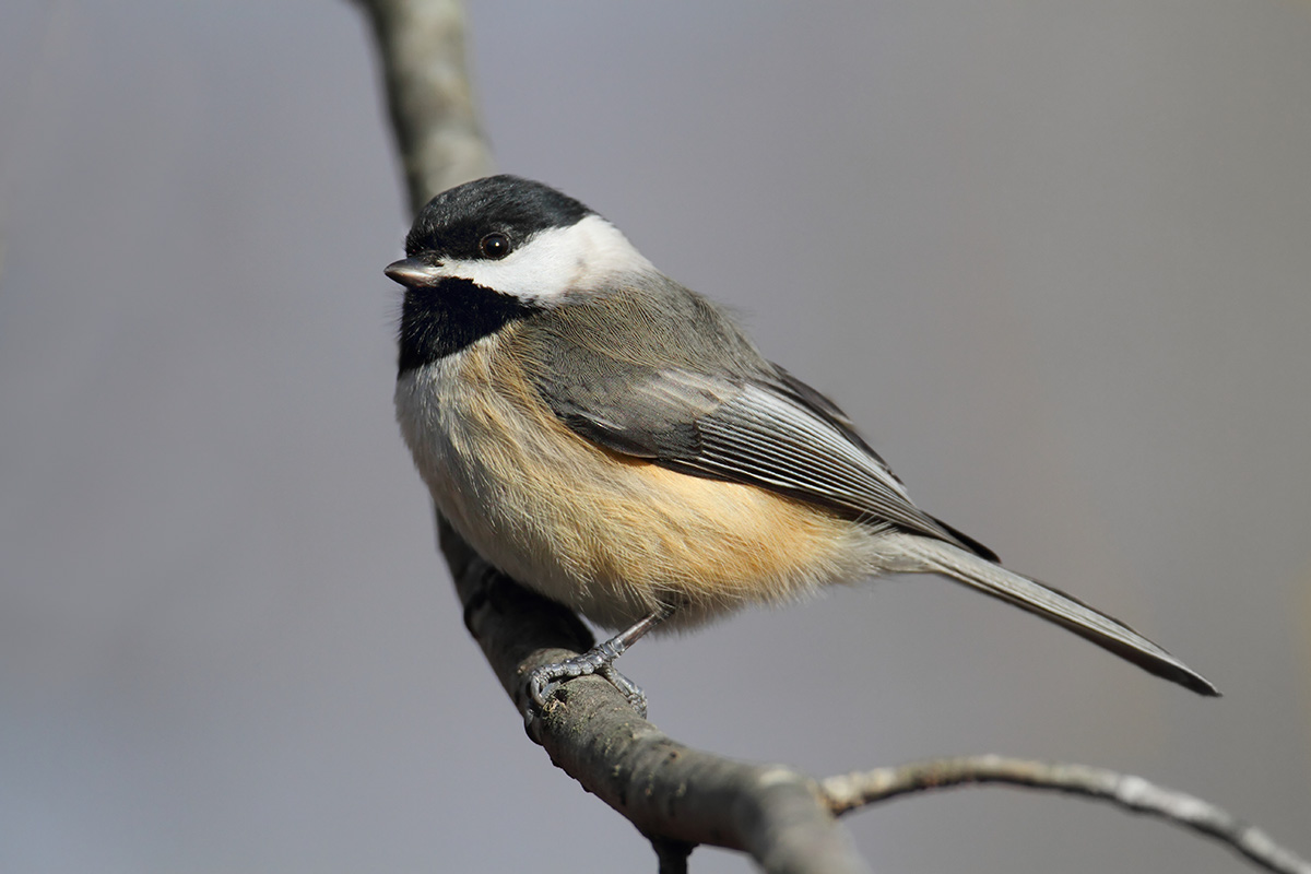 Carolina Chickadee Bird
