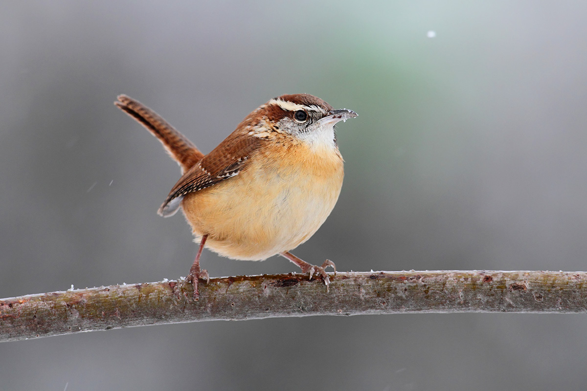 Carolina Wren Information