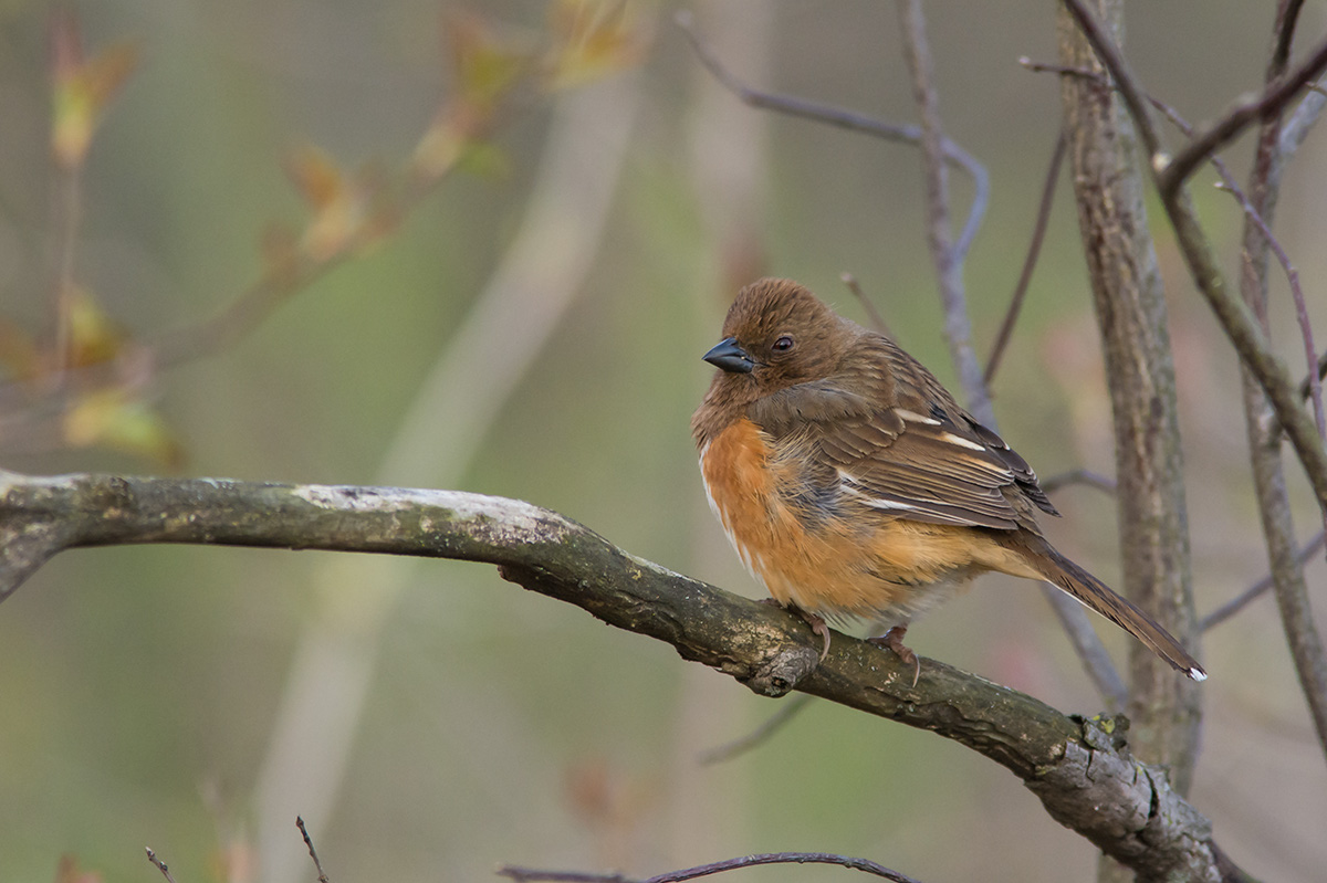 EasternTowhee Bird