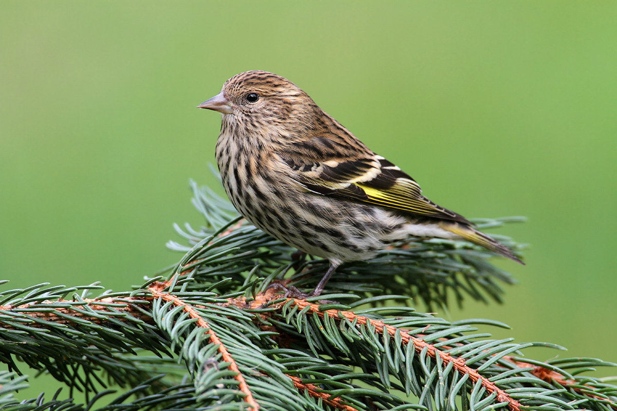 Indigo Bunting Pine Siskin - Song of ...