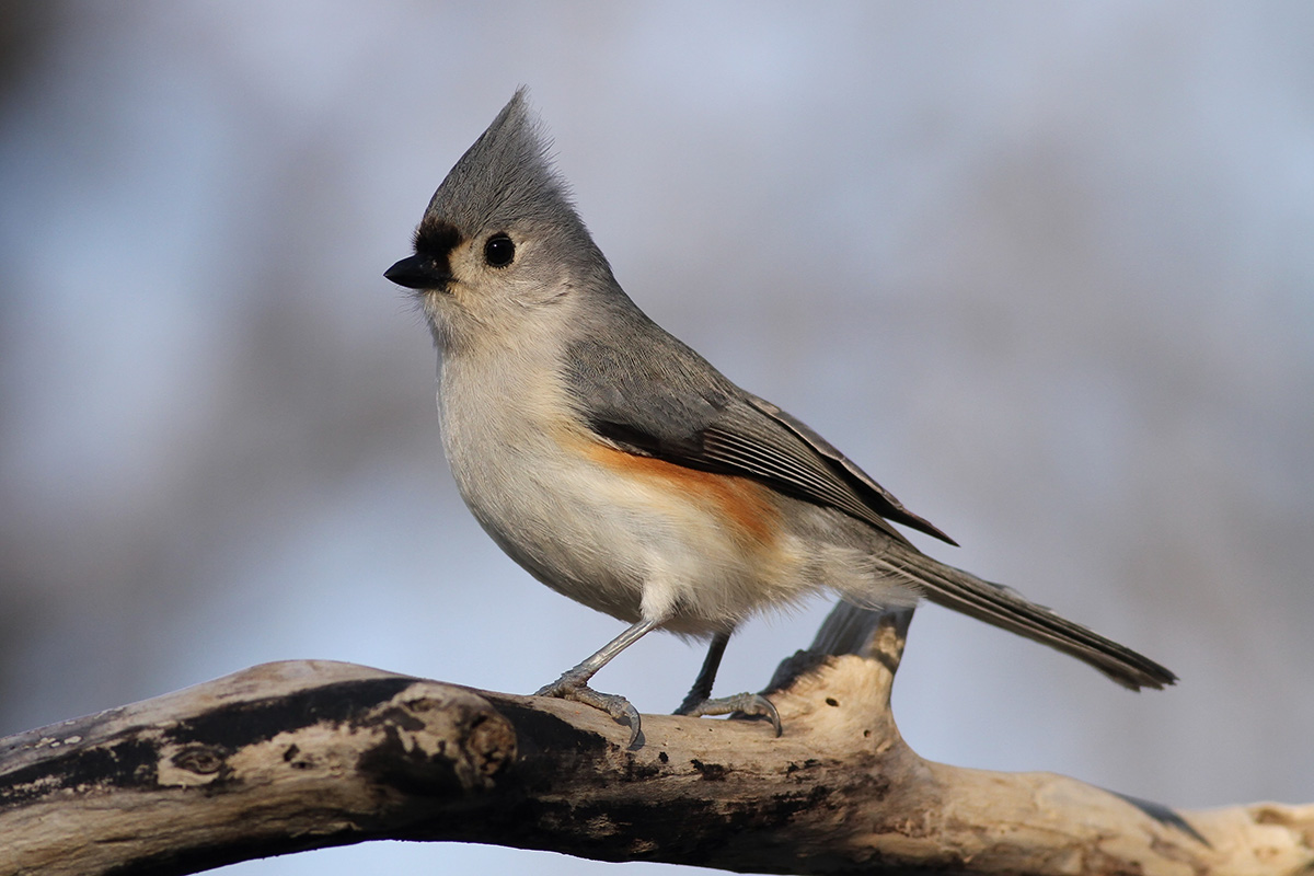 Tufted Titmouse - Song of America Birdseed