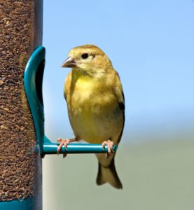 american goldenfinch perched on a feeder